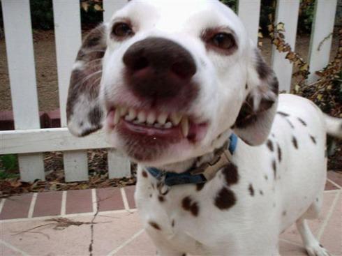 SMILING_Dalmatian